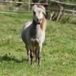 Miniature horse stallion — Foto Stock #32892431