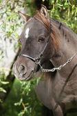 Porträtt av miniatyr häst — Stockfoto