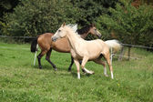 Two palomino horses running — Stock Photo