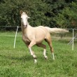 Beautiful palomino horse running on pasturage — Stockfoto