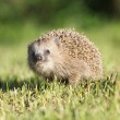 Little hedgehog looking at you — Photo
