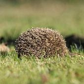 Hedgehog in the garden — Stock Photo