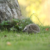 Little hedgehog looking at you — Stock Photo