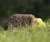 Little hedgehog looking — Stock Photo