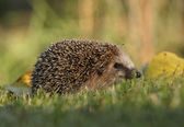 Little hedgehog in the garden — Stock Photo