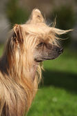 Chinese Crested Dog in the garden — Foto Stock