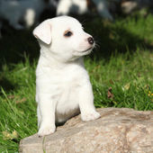 Gorgeous jack russell terrier puppy on some stone — Stock Photo
