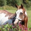 Nice paint horse mare behind purple flowers — Stock fotografie #34167369