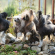 Group of Chinese Crested Dog in the garden — Stock Photo