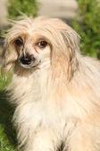 Cão cristado no jardim chinês — Fotografia Stock