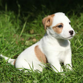 Fantastic adorable Jack Russell terrier puppy — Stock Photo