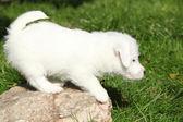 Çok güzel jack russell terrier yavrusu ayakta — Stok fotoğraf