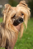 Chinese Crested Dog in the garden — Stock Photo