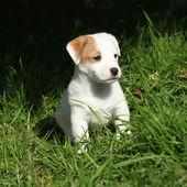 Fantastisch bezaubernd jack Russell Terrier Welpe — Stockfoto