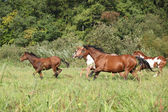 Group of horses running in freedom — Stock Photo