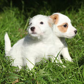 Gorgeous puppies of Jack Russell Terrier — Stock Photo