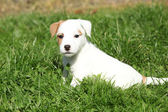 Nice jack russell terrier puppy sitting — Stock Photo