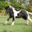 Foto Stock: Gorgeous irish cob running on pasturage