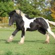 Gorgeous irish cob running on pasturage — Stockfoto #34374473