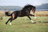 Welsh part bred stallion jumping — Stock Photo