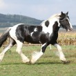 Foto Stock: Gorgeous stallion with long flying mane