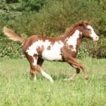 Nice paint horse foal running in autumn — Stock Photo #34384695
