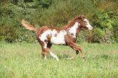 Nice paint horse foal running in autumn — Stock Photo