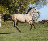Nice Kinsky horse running in autumn — Stock Photo