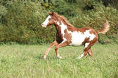 Nice paint horse foal running in autumn — Foto de Stock