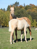 Kinsky horse mare with foal in autumn — Stock Photo