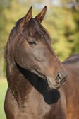 Nice brown warmblood with black mane — Stock Photo