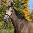 Portrait of nice Kinsky horse with bridle in autumn — Stock Photo #34408343