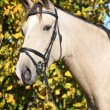 Portrait of nice Kinsky horse with bridle in autumn — Stock Photo #34411869