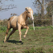Angry palomino horse attacking — Stock Photo
