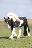 Gorgeous stallion with long flying mane — Stock Photo
