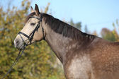 Portrait of nice Kinsky horse with bridle in autumn — Stock Photo