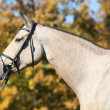 Foto Stock: Portrait of nice Kinsky horse with bridle in autumn