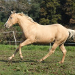 Palomino quarter horse running on pasturage — Stock Photo #34710469