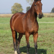 Nice brown warmblood standing in autumn — Stok Fotoğraf #34710471