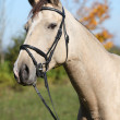 Portrait of nice Kinsky horse with bridle in autumn — Stok Fotoğraf #34710555
