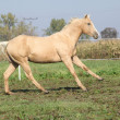 Palomino quarter horse running on pasturage — Stock Photo #34710877
