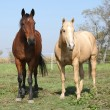 Foto Stock: Brown and palomino horses looking at you