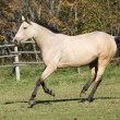 Beautiful palomino horse running on pasturage in autumn — Stock Photo #34711199
