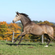 Beautiful horse running on pasturage in autumn — Stock Photo #34711277