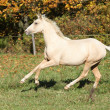 Nice palomino foal running in autumn — Stock Photo #34711355