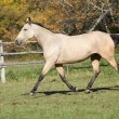 Beautiful palomino horse running on pasturage in autumn — Stock Photo #34711801