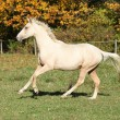 Nice palomino foal running in autumn — Foto Stock