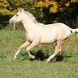 图库照片: Nice palomino foal running in autumn