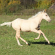 Nice palomino foal running in autumn — Stock Photo #34711947