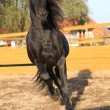 图库照片: Nice friesihorse working in paddock